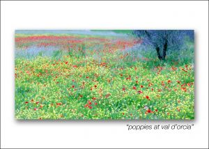 poppies at val d'orcia
